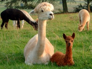 More alpacas, just because they're lovely!
