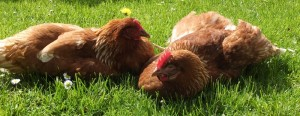 Mabel and Petal hens enjoying the sunshine