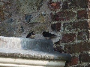 Baby swallows - one flew one crashed and I returned it to the roof